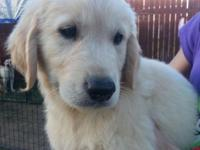 AKC Champion Bloodline Golden Retriever Puppies. 1/2