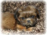 I have some charming AKC champion family shih Tzu new