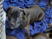 Pet quality $600 1 female. They have been dewormed on