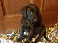 Champion AKC chocolate female Labrador Retriever.
