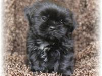 I have a beautiful champion bloodline black shih tzu