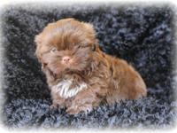 I have a beautiful champion bloodline chocolate shih