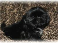 I have a beautiful champion bloodline shih tzu male