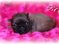 I have champion bloodline Ckc shih tzu puppies for