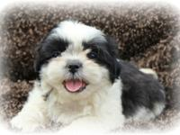 Adorable ckc champion bloodline shih Tzu puppies