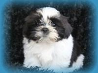 I have 1 male and 1 female champion bloodline Ckc shih