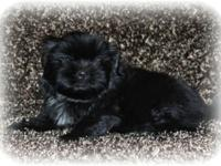 I HAVE AN ADORABLE CHAMPION BLOODLINE CKC SHIH TZU MALE