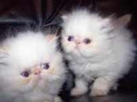 Description CHAMPION BLOODLINES--- PERSIANS AND