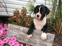 AKC black boxer puppy, champion bloodline. Ebony is a