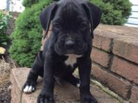 AKC black boxer puppy, champion bloodline. Copper is a