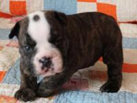 I HAVE 2 BEAUTIFUL MALE ENGLISH BULLDOG PUPPIES READY