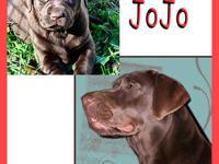 Beautiful SF chocolate lab puppies born Nov. 1st. Pups