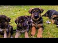 We had a litter of gorgeous German Shepherd puppies