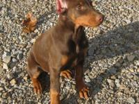 Champion bred Red & Rust Female pup, born August 1st.