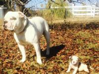 Big, beautiful, healthy American Bulldogs for sale.