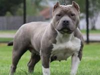 I have 3 absolutely adorable American bully puppies