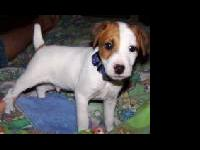 Champion bred Jack Russell Terrier Pups Sired by 2008