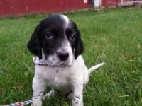 English Setter puppies with Champion bloodlines