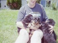 Beautiful ch bloodline puppies,have both parents,both