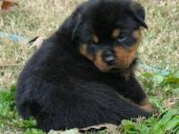 female Rottweiler parents are imports and champions.