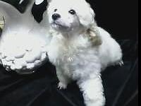 20 week old white male AKC registered Champion