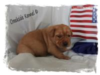 Beautiful AKC Fox Red Labradors! Red males out of a