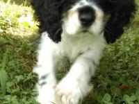 Show prospect cocker spaniels. I have 4 males and 1