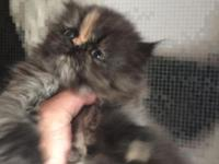 I am selling this champion Persian kitten for $500.