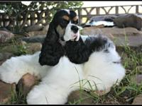 Champion-sired tri (black, tan, and white partis).