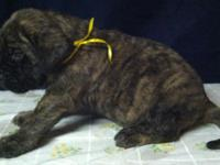 We have brindle and fawn males offered. Sire is AKC