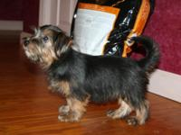 Beautiful black and tan Norfolk Terrier female