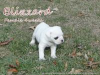 NKC registered American bulldog puppies. Ready for
