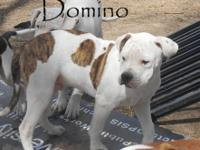 Domino is our last remaining pup from our CH Bucalla's