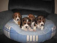 Debonair beagle will be expecting beagle babies short