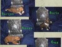 6 Beautiful AKC Boxer children born Sept. 26, are still