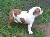 AKC CHAMPION SIRED BULLDOG PUPPIES !! These are very