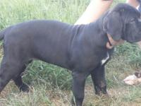 2 Champion Sired, solid black females, fully house