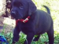 Champion sired English black and yellow female lab