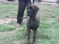 This is a 2.5 yr old champion sired english mastiff