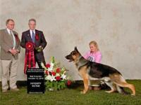 Champion Sired German Shepherd Puppies Whelped July