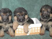 German showline puppies for sale from German import