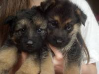 Beautiful Black and Red German Showline puppies