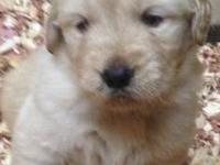 Champion Sired Labrador Retriever puppies. Champion