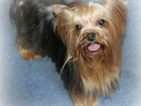 Beautiful Male Yorkie AKC, DNA. Available for sale. HE