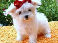 Description Champion sired Maltese puppies. Bread for