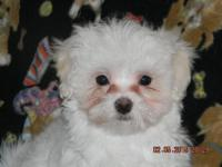 APRI Champion sired MALTESE male dogs. Adorable puppies