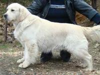 Golden Retriever, English Golden, Trained males and