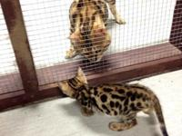 I have 4 gorgeous Bengal babies ready to go to there