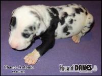 Litter of 14 Great Dane puppies for sale - Florida