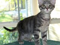 Chance's story Chance, DSH Silver Marble Tabby neutered